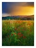 slides/Poppy Squall.jpg halnaker windmill, sunset,rain,summer,poppies,south downs national park, Poppy Squall