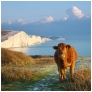 slides/The on looker.jpg seven sisters,country park,coastal,landscape,sunset,cows,cliff, chalk,coast guard cottages The on looker
